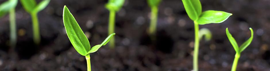 seedlings emerging from soil