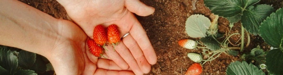 hands holding ripe strawberries